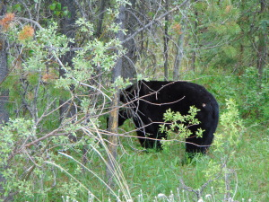 Mais um urso pelo caminho...